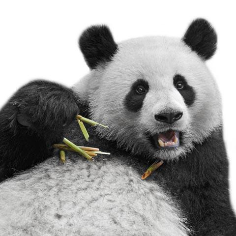 bambuspanda